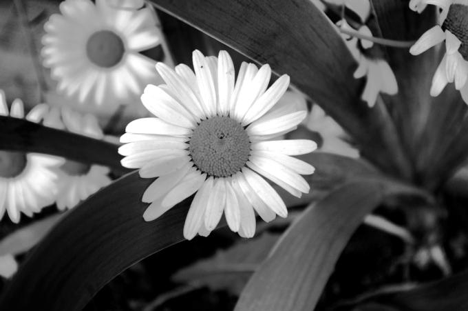 bw daisy